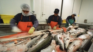 Demand for fish catering markets expands, fish processing equipment improves efficiency