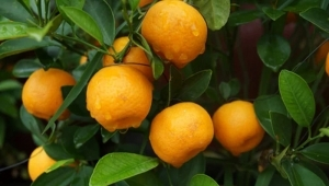 Deep processing of citrus is as simple as that!